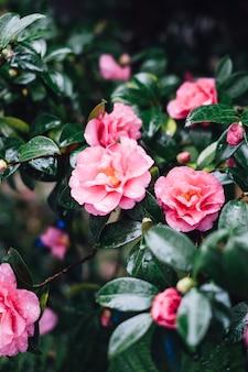 Bella rosa rosa