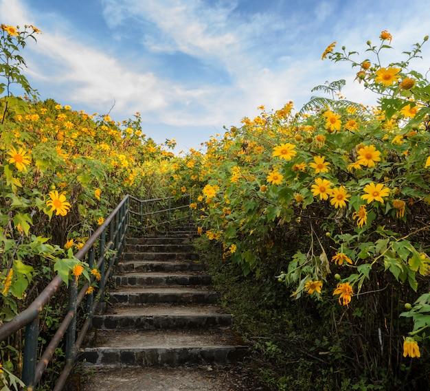 Bella valle di fioritura del girasole messicano in meahongson, tailandia