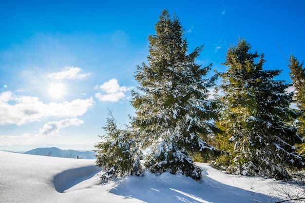 Bella vista degli alberi di abete rossi verdi maestosi che crescono su una collina in cumuli di neve di inverno contro un cielo blu e le nuvole bianche un giorno di inverno gelido soleggiato.