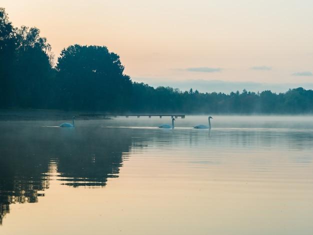 Bella vista dei cigni che nuotano su un lago durante il tramonto con alberi nebbiosi in lontananza