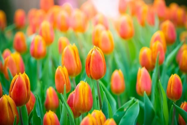 Bella vista dei tulipani arancioni. il tulipano fiorisce il prato. giardino del tulipano. gruppo di tulipani colorati.