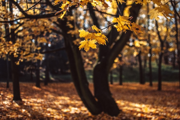 Bella vista sugli alberi pieni di foglie d'oro su un campo catturato a poznan, in polonia