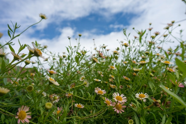 Belle chamomiles fresche in erba, margherite in primo piano, cielo blu sullo sfondo