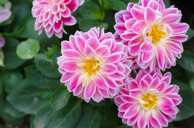 Belle dalie rosa brillante