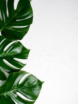Belle foglie brillanti di monstera su fondo bianco