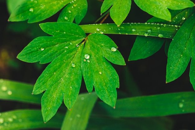 Belle foglie verde vivo di dicentra con gocce di rugiada close-up con copia spazio.