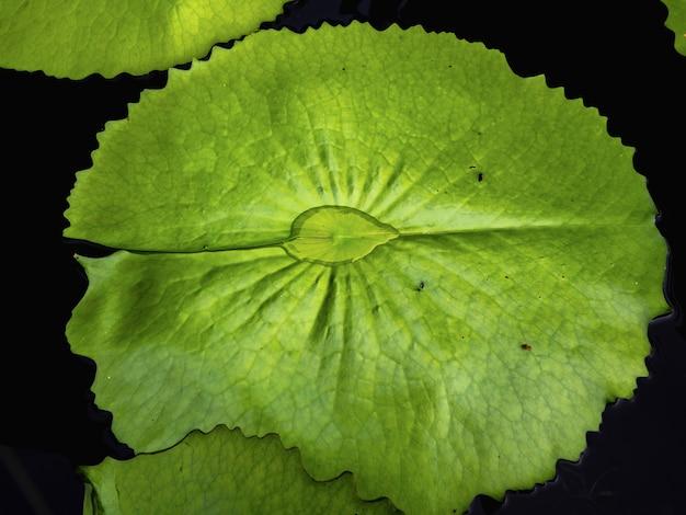 Belle foglie verdi del loto nello stagno.