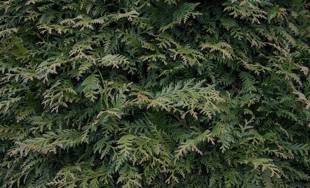 Belle foglie verdi di natale degli alberi di thuja con luce solare morbida e le gocce dopo la pioggia. rametto di thuja,