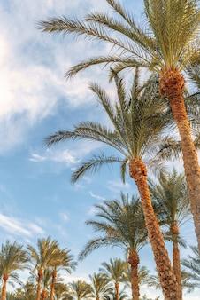 Belle palme su uno sfondo di cielo soleggiato