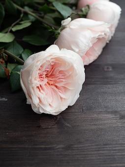 Belle rose rosa delicate a forma di peonia nella sfocatura artistica.