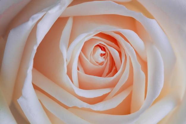 Belle rose rosa dolci nella struttura rosa presente di fine per il fondo di giorno di s. valentino.