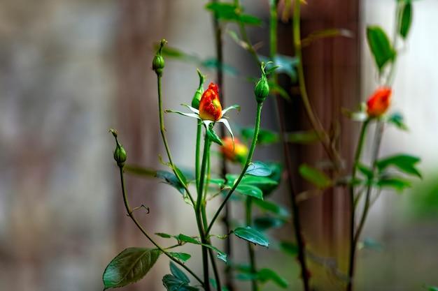 Belle rose rosse e gialle nel giardino