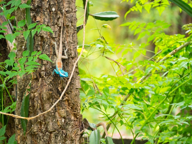 Belle specie asiatiche camaleonte di lucertole colorate. con una testa blu appollaiata su un albero.