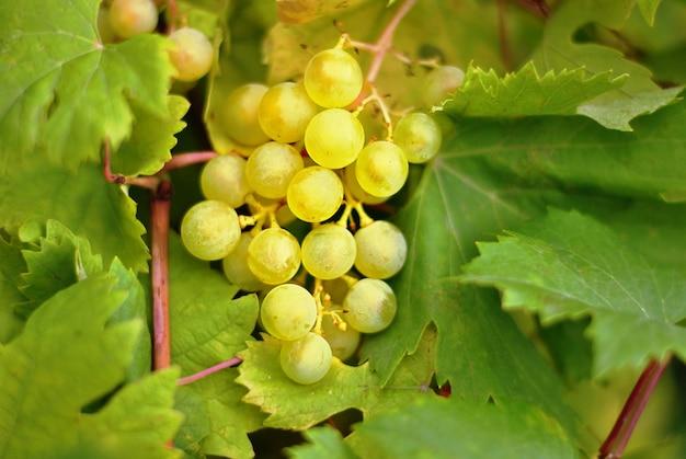 Belle uve saporite sulla pianta da frutto del ramo nel giardino.