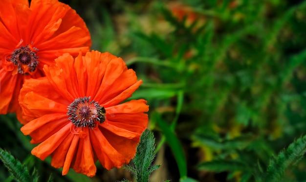 Belle vibranti papaveri scarlatti per sfondo floreale e pubblicità