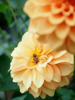 Bellezza dei fiori della dalia all'azienda agricola verde.