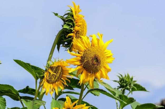 Bellezza naturale, girasole nel giardino, fiore giallo