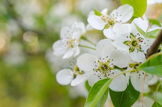 Bellissimi fiori bianchi delicati di pera selvatica.