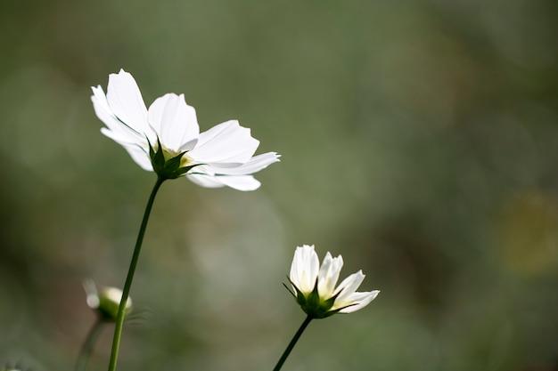 Bellissimi fiori dell'universo nel giardino