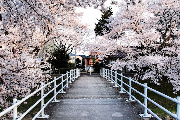 Bellissimi fiori di ciliegio. sakura fiori in giappone. viaggia in primavera.