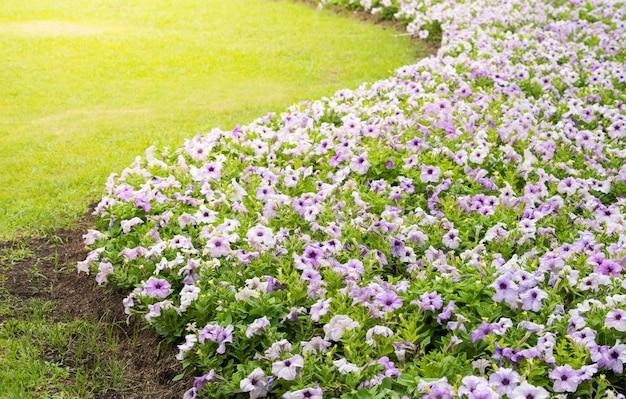 Bellissimi fiori di petunia