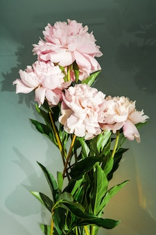 Bellissimi fiori freschi di peonia