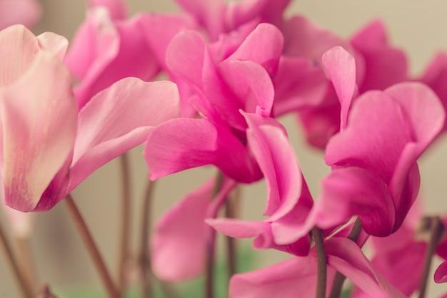 Bellissimi fiori rosa in giardino con bokeh di primavera