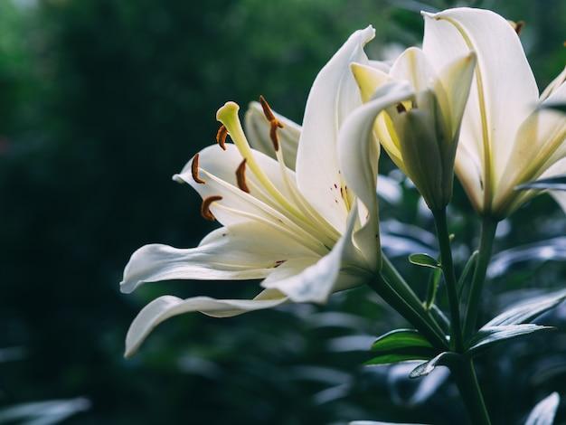 Bellissimi gigli in giardino
