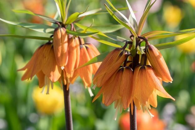 Bellissimi grandi fiori arancioni