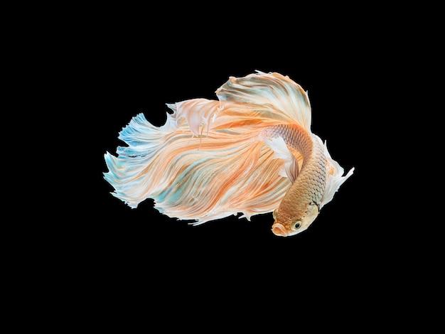 Bellissimi pesci da combattimento thai bianchi che nuotano con pinne lunghe e gene della coda lunga.
