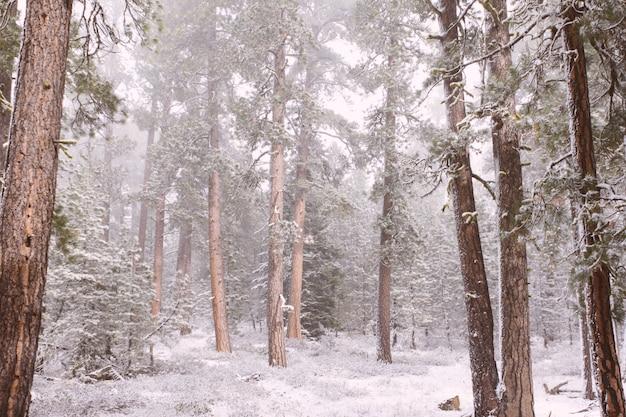 Bellissimi pini marroni in una foresta innevata