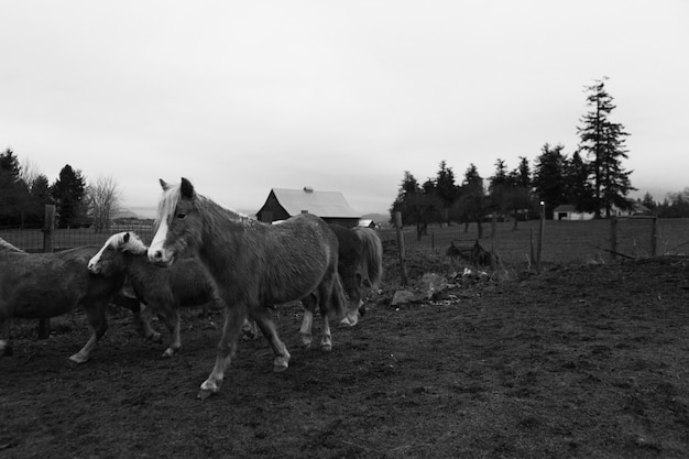 Bellissimi pony domestici in una fattoria