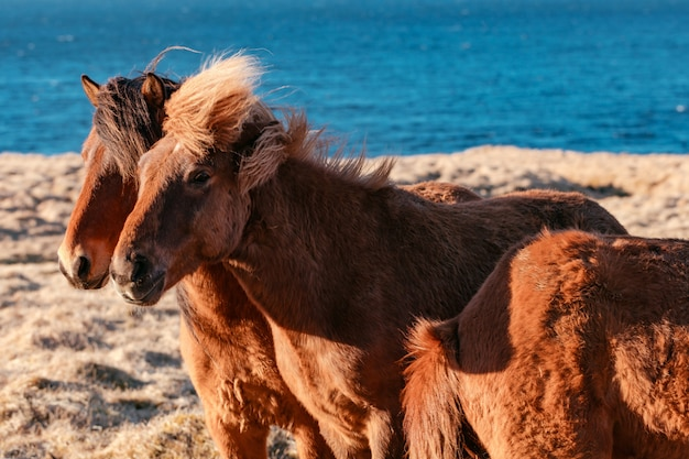 Bellissimi pony selvatici sul campo