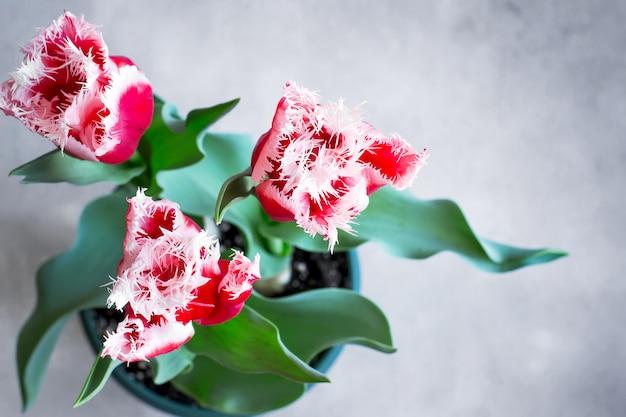 Bellissimi tulipani di spugna cresciuti a casa in una pentola. vista dall'alto con poliziotto