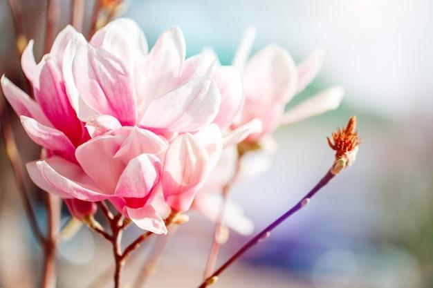 Bellissimo albero di magnolia in fiore con fiori rosa. sfondo primavera.