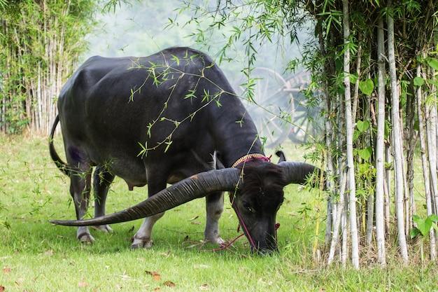 Bellissimo bufalo lungo cornuto