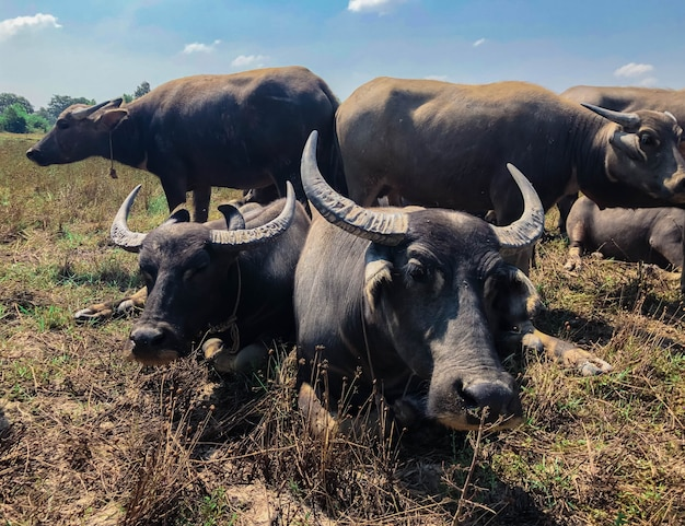 Bellissimo bufalo nella campagna thailandese