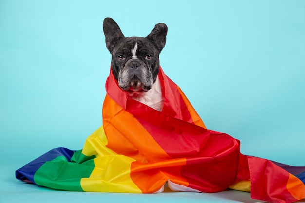 Bellissimo bulldog francese avvolto con una bandiera arcobaleno