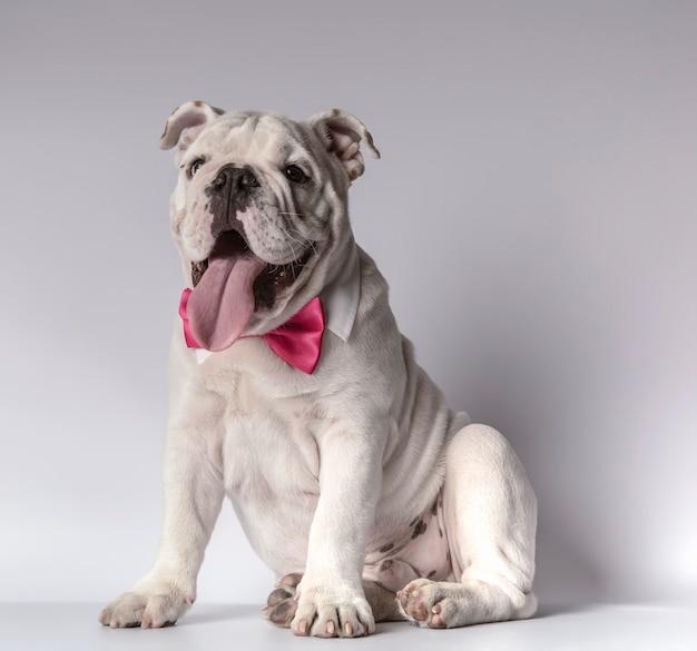 Bellissimo bulldog inglese seduto con collo camicia e farfallino fuxia