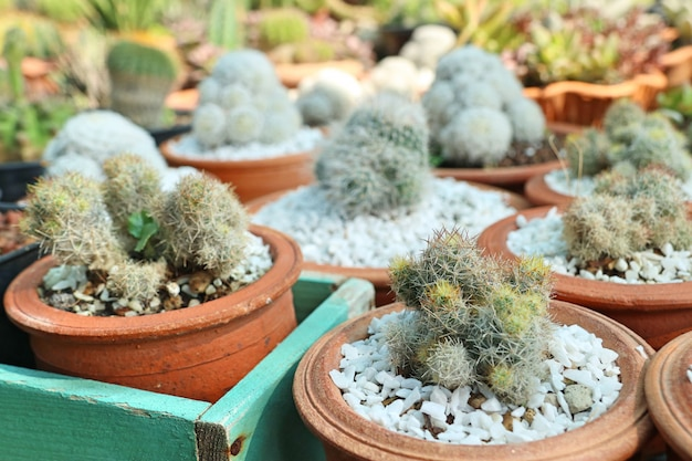 Bellissimo cactus da vendere
