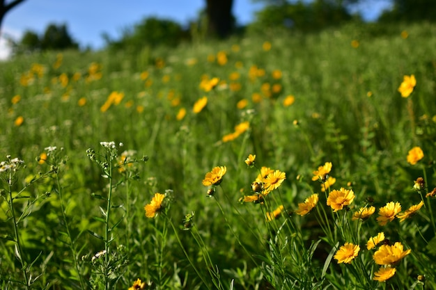 Bellissimo campo con fiori gialli