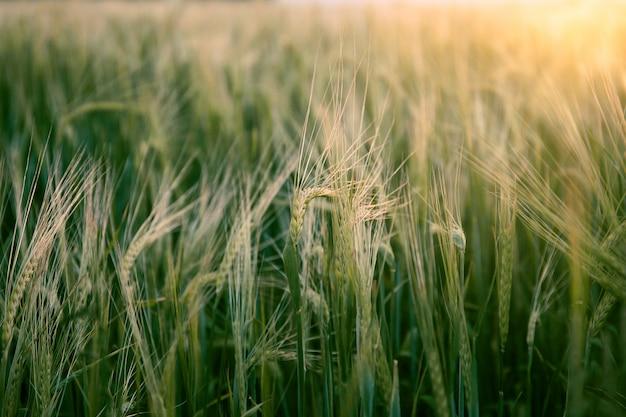 Bellissimo campo di grano in estate al tramonto. natura