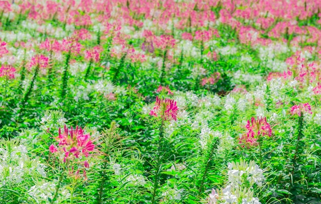Bellissimo campo di ranuncolo giardino rosa e luminoso.