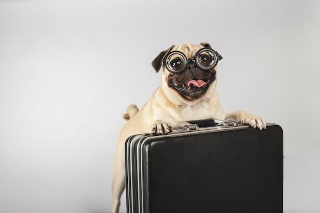 Bellissimo cane di razza carlino con bicchieri di pasta per il culo in bottiglia caricata in una valigetta direzionale.