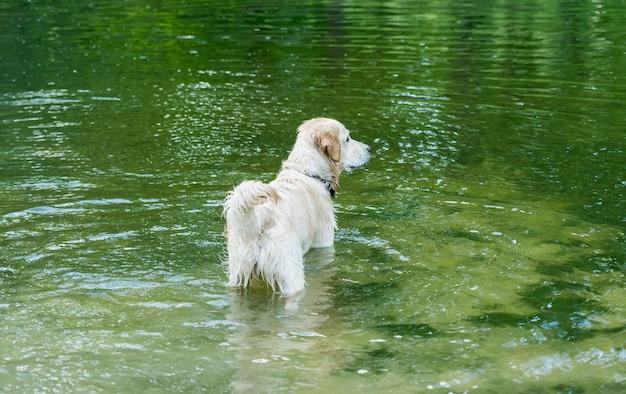 Bellissimo cane in piedi nel fiume che riflette alberi verdi