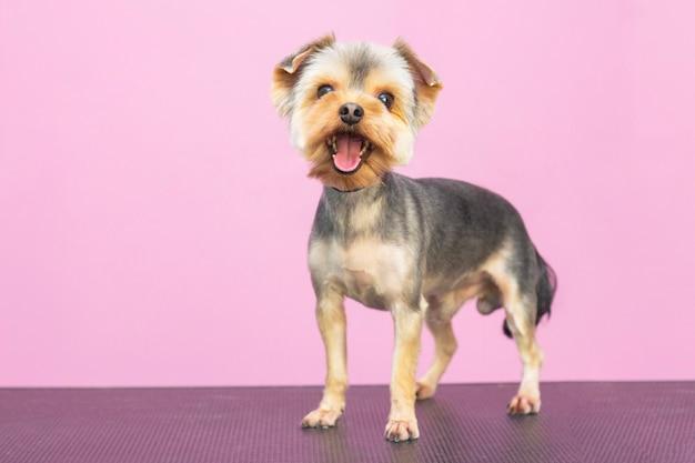 Bellissimo cane yorkshire terrier in un salone per animali