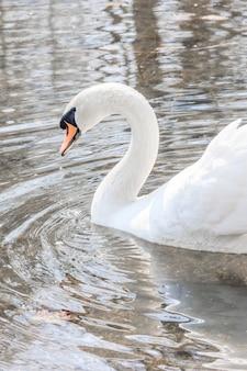 Bellissimo cigno bianco sul lago. uccelli acquatici. uccello bianco.
