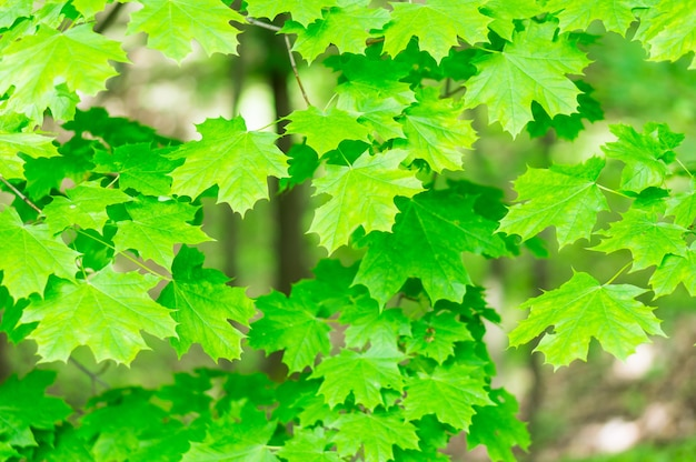 Bellissimo colpo di foglie di acero verde sugli alberi