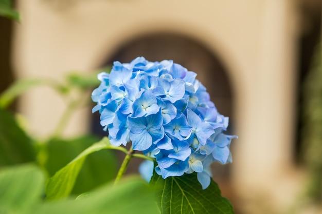 Bellissimo fiore blu ortensia o hortensia