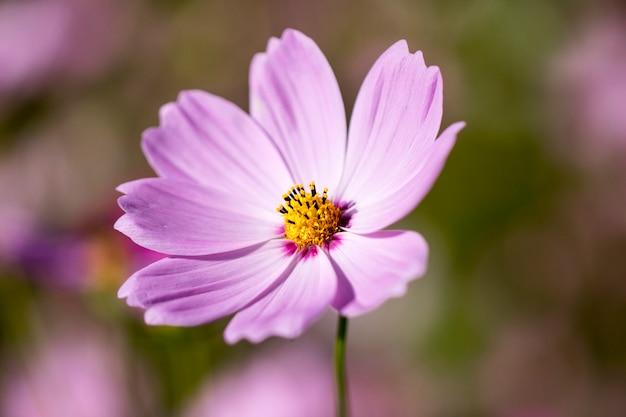 Bellissimo fiore dell'universo nel giardino
